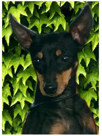 Beautiful English Toy Terrier(Black Tan) dog wallpaper