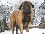 Beautiful Estrela Mountain dog