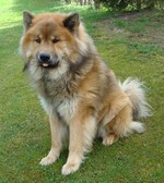 Beautiful Eurasier dog