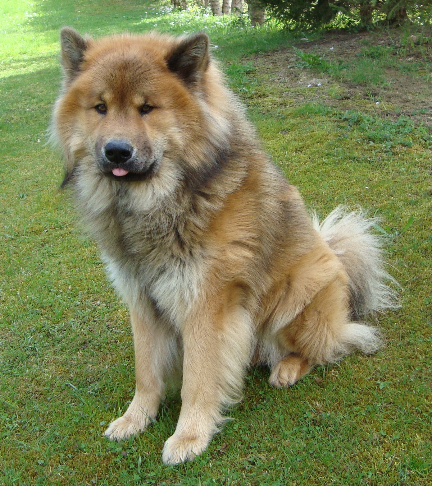 Beautiful Eurasier dog wallpaper