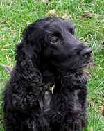 Beautiful Field Spaniel dog