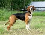 Beautiful Finnish Hound dog