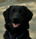 Beautiful Flat-Coated Retriever dog