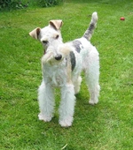 Beautiful Fox Terrier,Wire dog