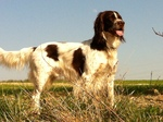Beautiful French Spaniel dog