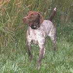 Beautiful German Shorthaired Pointer dog