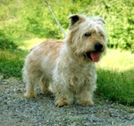 Beautiful Glen of Imaal Terrier dog