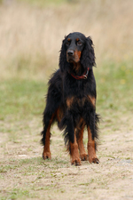Beautiful Gordon Setter dog