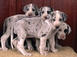 Beautiful Great Dean puppies