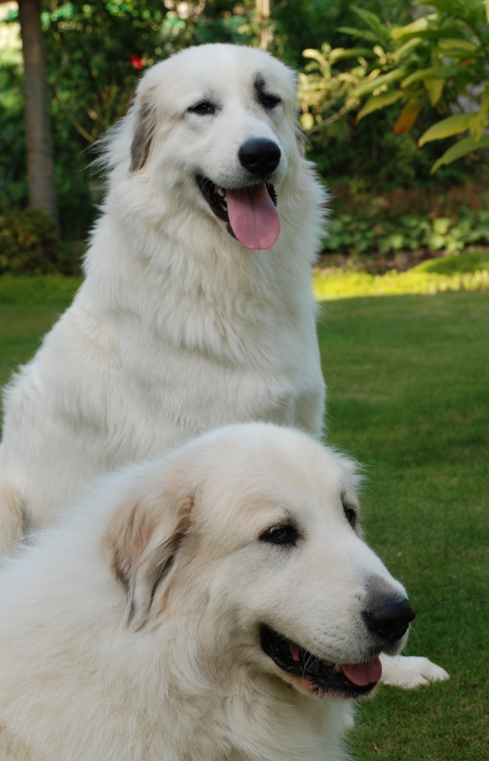 cute great pyrenees dog photo