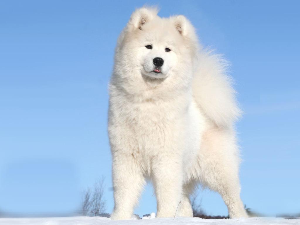 Красивая гренландская собака фото