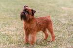 Beautiful Griffon Bruxellois dog