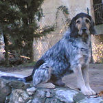 Beautiful Griffon Nivernais dog