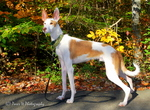 Beautiful Ibizan Hound dog