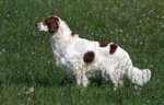 Beautiful Irish Red and White Setter dog