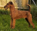 Beautiful Irish Terrier Dog