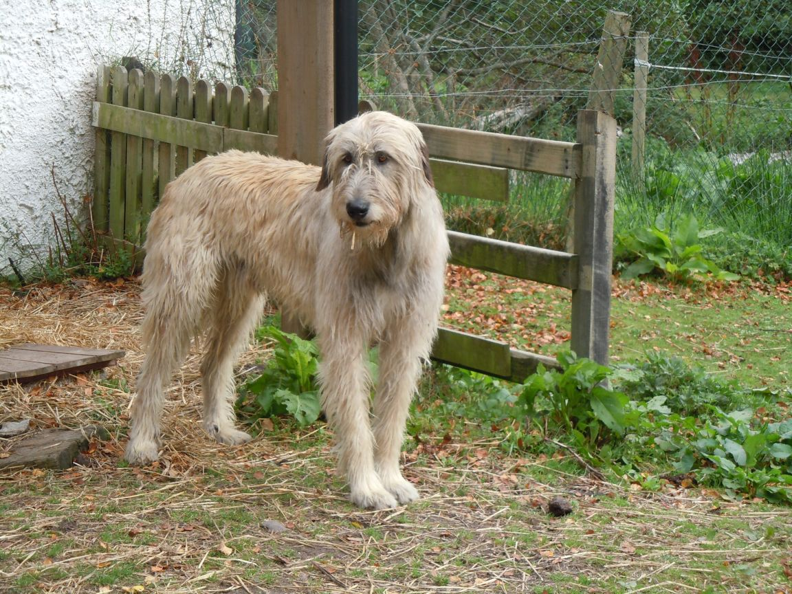 Beautiful Irish Wolfhound dog  wallpaper