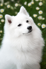 Beautiful Japanese Spitz dog