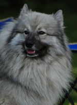 Beautiful Keeshond dog