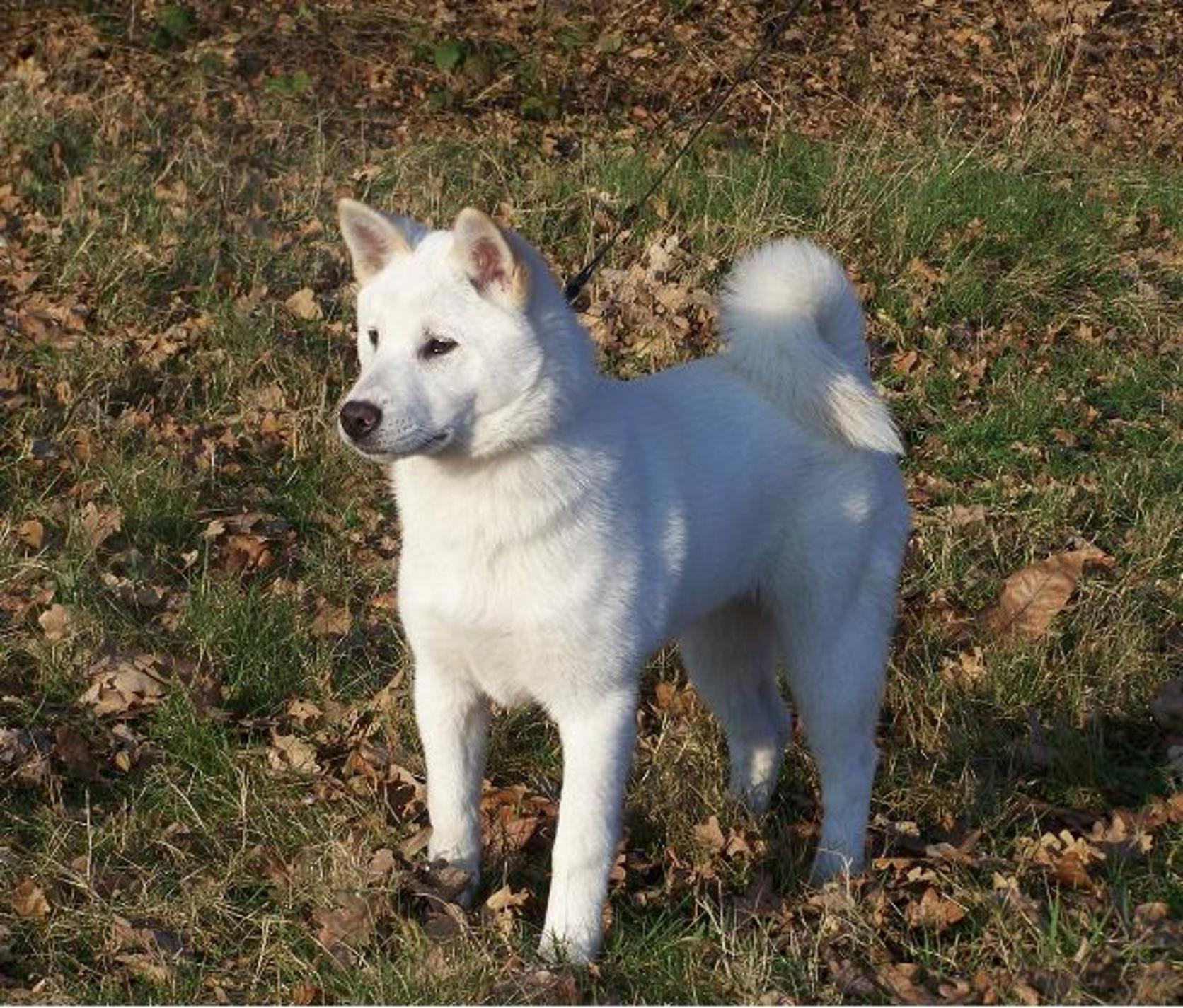 Beautiful Kishu dog wallpaper