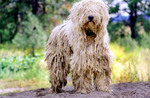 Beautiful Komondor dog