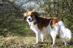 Beautiful Kooikerhondje dog
