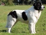Красивая собака ландсир