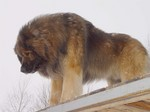 Beautiful Leonberger dog