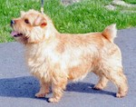 Beautiful Norfolk Terrier dog