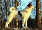 Beautiful Norrbottenspets dog