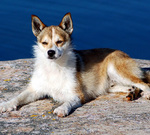 Beautiful Norwegian Lundehund dog