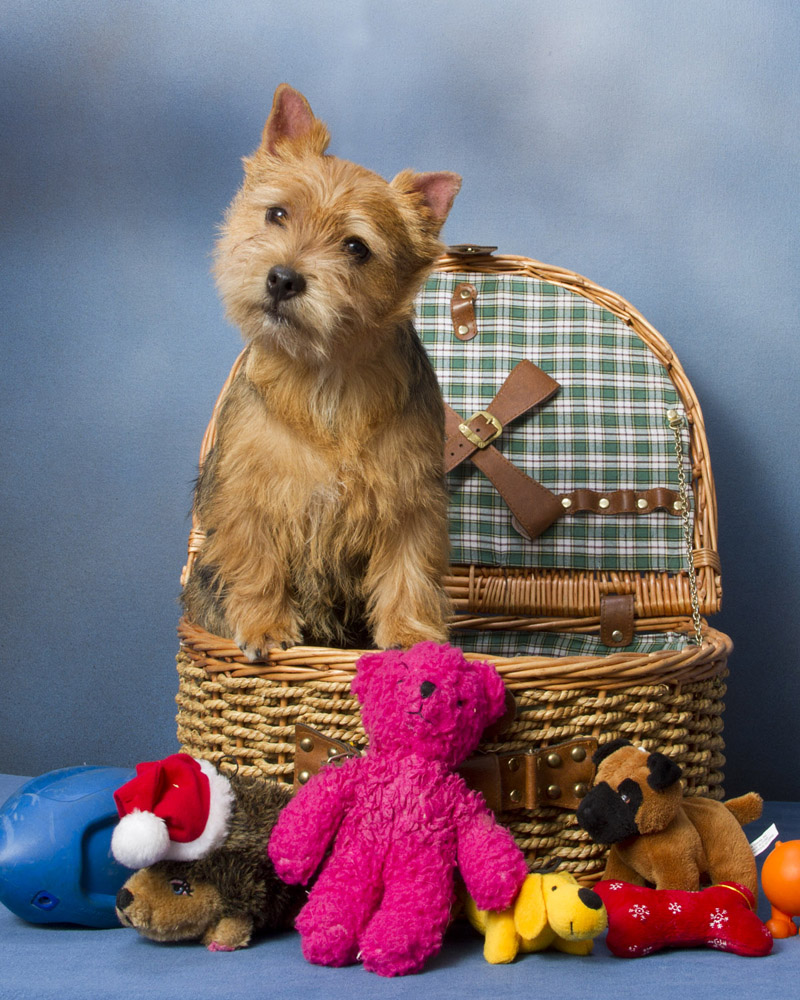 Beautiful Norwich Terrier portrait wallpaper