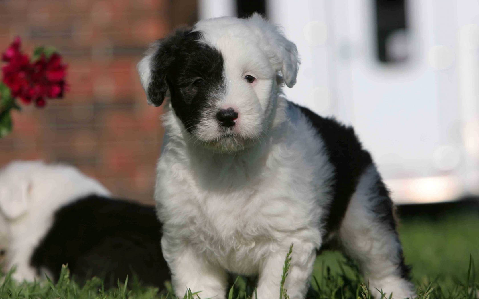 Beautiful Old English Sheepdog puppy wallpaper