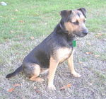 Beautiful Patterdale Terrier dog