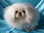 Beautiful Pekingese dog