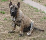 Beautiful Perro de Presa Canario dog
