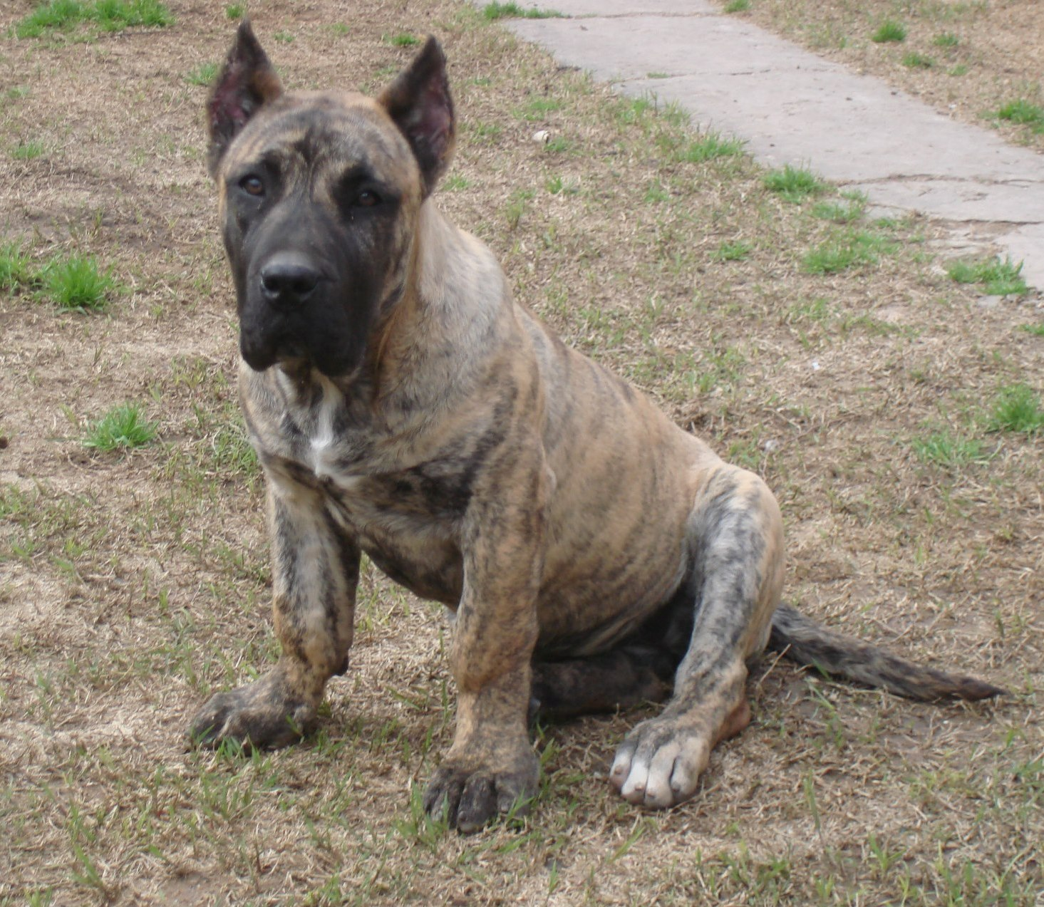 Beautiful Perro de Presa Canario dog wallpaper