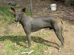 Beautiful Peruvian Hairless Dog