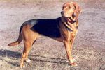 Beautiful Polish Hound dog