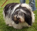 Beautiful Polish Lowland Sheepdog