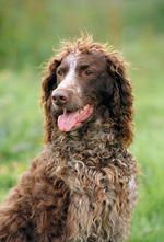 Beautiful Pont-Audemer Spaniel
