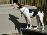 Beautiful  Rat Terrier dog