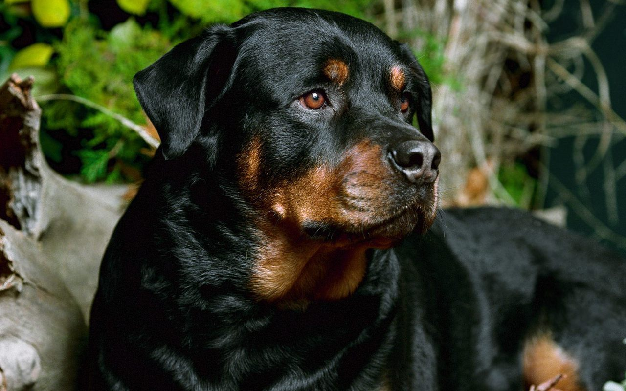 Beautiful Rottweiler dog  wallpaper