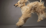 Beautiful running Afghan Hound