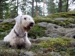 Beautiful Sealyham Terrier dog