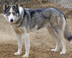 Beautiful Seppala Siberian Sleddog