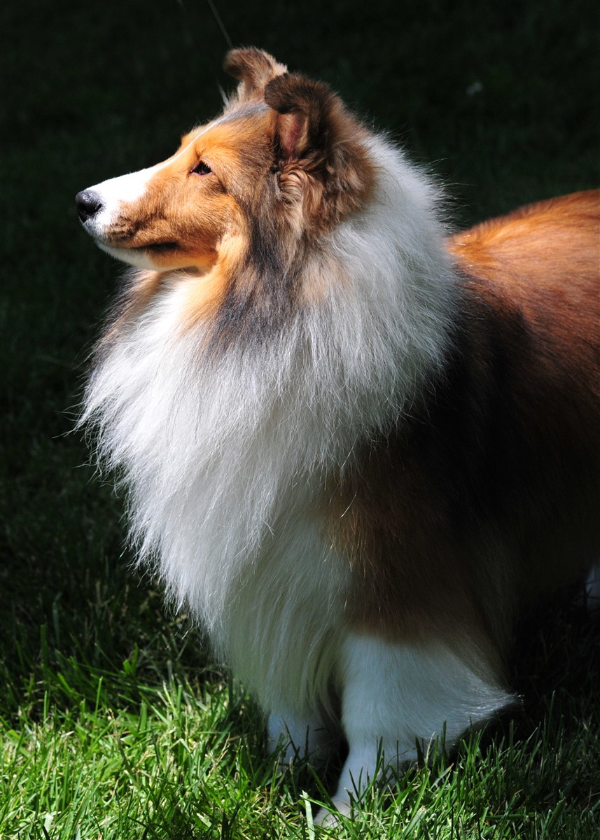 Beautiful Shetland Sheepdog  wallpaper