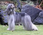 Beautiful silver Afghan Hound