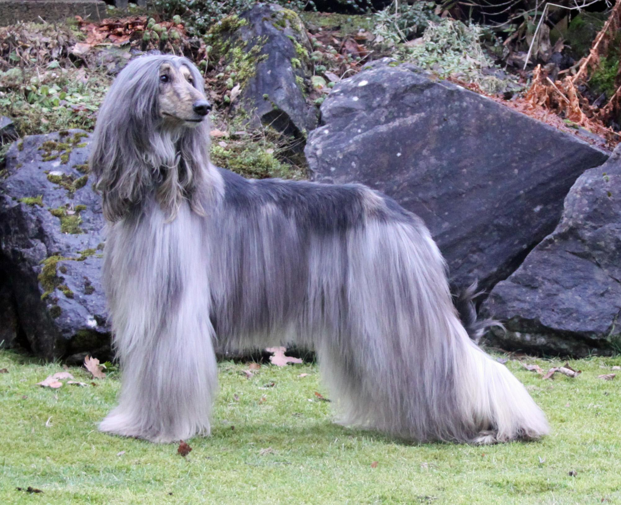 Beautiful silver Afghan Hound wallpaper