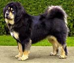 Beautiful Tibetan Mastiff dog